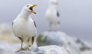 Seagull flu strain gives rise to epidemic
