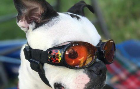 DIY: Pinterest-Inspired Dog Costumes