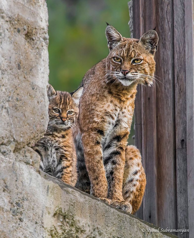 After six hours of patient waiting, Vishal took this photo of a bobcat mother with her kittens in an abandoned building in Livermore.