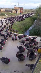 The army of turkeys, here to take our suburbs away. Stop them, and the Democrats before it's too late.
