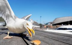 A seagull on its scouring mission